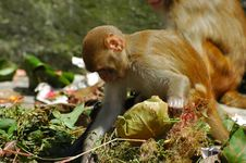 Free Scavenging Monkeys Stock Photos - 3447463