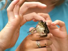 Free Three Hands And A Frog Royalty Free Stock Image - 3447826