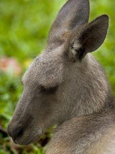 Free Grey Kangaroo Stock Image - 3448071