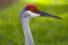 Free Sand Hill Crane Royalty Free Stock Photos - 3448728