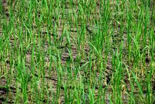 Free Young Paddy Fields Stock Photography - 3448872