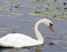 Free Mute Swan Stock Image - 3449421