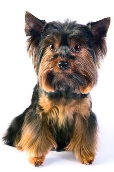 Free Dog Royalty Free Stock Photo - 34405075