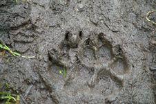 Free Brown Bear Track Stock Image - 34410211