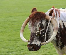 Free Longhorn Cattle. Royalty Free Stock Images - 34411469