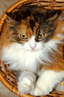 Free Cute Tricolor Cat In A Basket Royalty Free Stock Images - 34463509