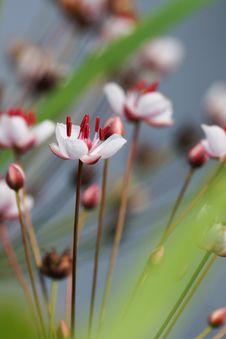 Free River Flower, Susak Stock Image - 34463541