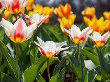 Free Tulips Stock Photos - 34465413