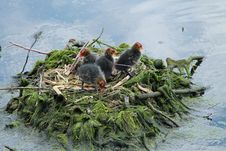 Free Baby Coot Chicks. Stock Photos - 34468633