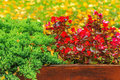 Free Wet Red Flowers And Conifer In The Box On A  Foliage Background Royalty Free Stock Images - 34472569