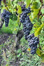 Free Grapes On The Vine Stock Photography - 34474352