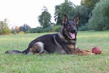Free German Shepherd Dog Royalty Free Stock Photos - 34471628
