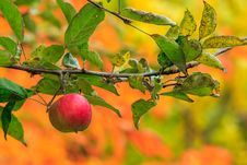 Red Apple Branch On A Autumn Leaves Background Royalty Free Stock Photography
