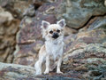 Free Chihuahua Stock Image - 34482651