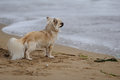 Free Chihuahua At The Beach Stock Photos - 34482683