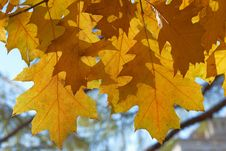 Free Colourful Leaves Of Oak Tree In Autumn Stock Photography - 34483282