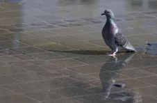 Free Colorful Pigeon With Water Reflection Stock Photography - 34485532