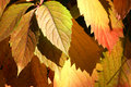 Free Autumnal  Red Leaves Royalty Free Stock Photography - 3458137