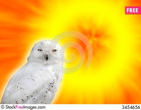 Free Snowy Owl Royalty Free Stock Image - 3454656