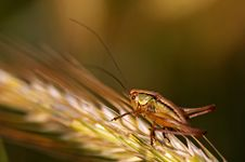 Free Big Grasshopper Royalty Free Stock Photo - 3450085