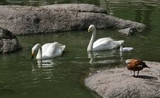Free A Family Of Swans In A Lake Stock Images - 3450214