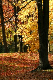 Free Bright Yellow Autumn Leaves Stock Image - 3450541