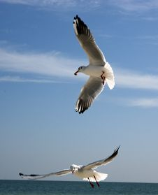 Free The Seagull Royalty Free Stock Photography - 3451127