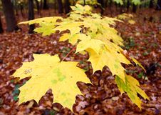 Free Yellow Leaves Stock Photos - 3451583