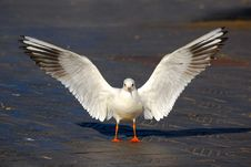 Free Sea Gull Stock Photos - 3451873