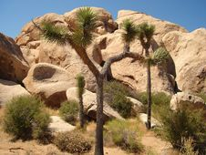 Free Joshua Tree NP Royalty Free Stock Photo - 3452765