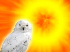 Free Snowy Owl Royalty Free Stock Image - 3454656