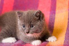 Free Grey Kitten Stock Image - 3455191