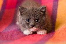 Free Grey Kitten Royalty Free Stock Photos - 3455238