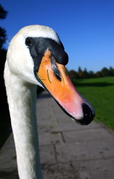 Whooper Swan Head And Neck Stock Image