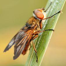 Free Hoverfly Phasia Hemiptera Royalty Free Stock Images - 3456699