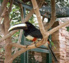 Free Toucan Bird Royalty Free Stock Image - 3457916