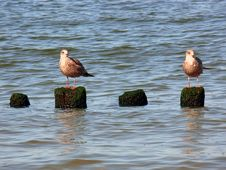 Free Sea Gull Royalty Free Stock Images - 3458989
