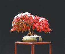 Free Japanese Maple Bonsai Stock Photography - 3459512