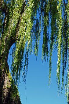 Free Weeping Willow Royalty Free Stock Image - 34512436