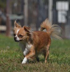 Free Alert Chihuahua Stock Image - 34513711