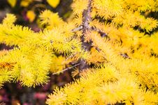 Free Larch Tree Branch Stock Photography - 34514252