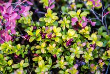 Free Berry Bush Cowberry Stock Photo - 34514260