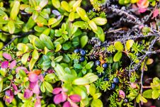 Free Berries Crowberry Stock Image - 34514261