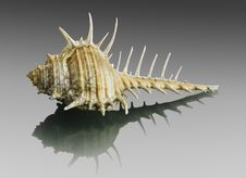 Free Murex Seashell. Stock Photo - 34522590
