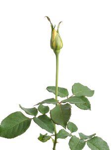Free Rose Bud Royalty Free Stock Photography - 34524547