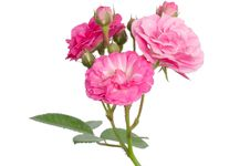 Fairy Rose Stock Images