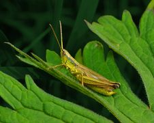 Free Grasshopper On A Leaf Royalty Free Stock Photography - 34528087