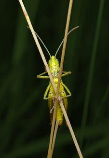 Free Grasshopper On Straws Stock Photos - 34528893