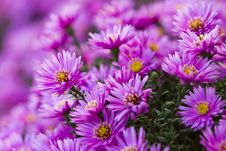 Free Purple Flower Royalty Free Stock Photos - 34529328