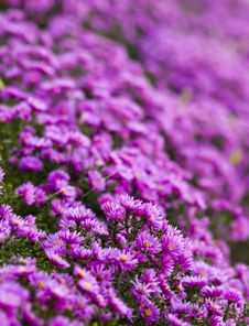 Free Purple Flower Royalty Free Stock Images - 34529339